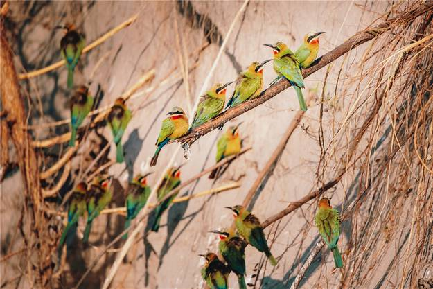 Wer den Blick von den Dickhäutern lösen kann, entdeckt die vielen Vögel. Etwa eine Schar von Weissstirnspinten in einer der Hecken.