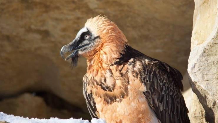 Der weibliche Bartgeier Althia ist am Samstag im Alter von 29 Jahren im Zoo La Garenne verendet.