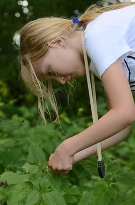 Jasmin beobachtet den Hohlzahnblattkäfer - sie widmet sich jedem Insekt mit grosser Geduld und Vorsicht_Bild tab