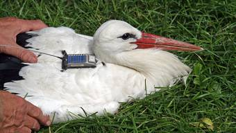 Der berühmteste Vogel der Schweiz ist tot