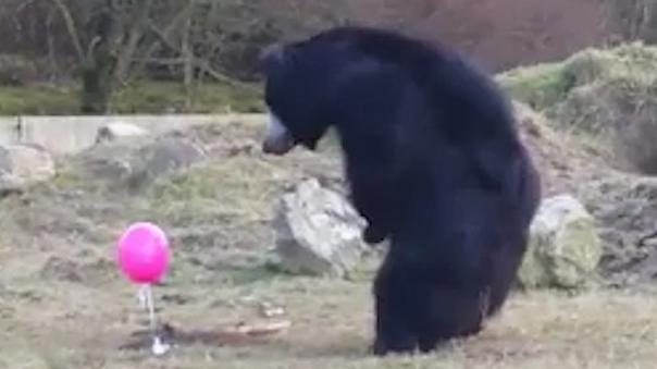 Dieser Bär entdeckt den pinkfarbenen Ballon.