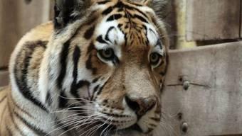 Der Tiger Rasputin hat einen Tierpfleger getötet