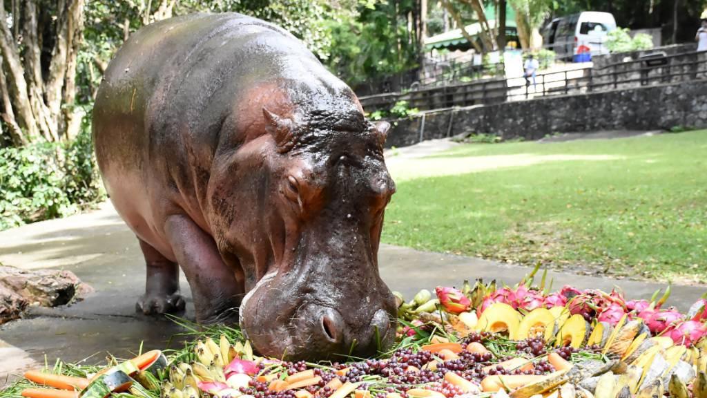 Thailands älteste Hippo-Dame Mae Mali feiert Geburtstag mit Torte