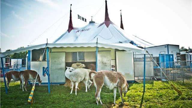 Kommt man den liegenden Lamas mit der Kamera zu nah, springen sie gleich wieder hoch.