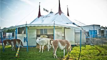 Die Zirkus-Lamas liegen im Aarauer Schachen auf der faulen Haut