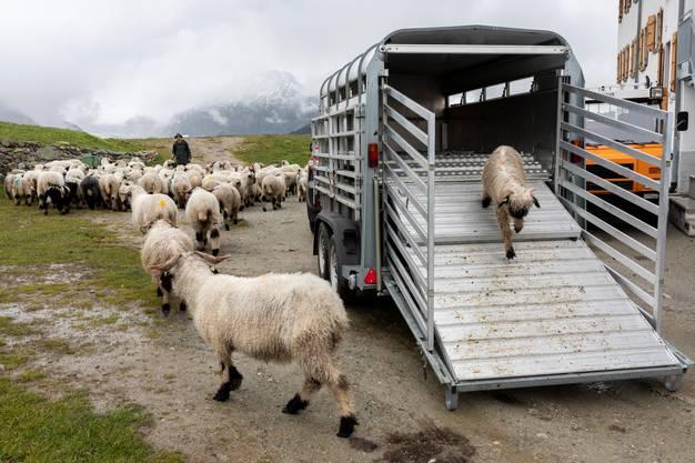 Die Schafe verlassen den Viehtransporter, der sie von Naters auf die Belalp gebracht hat, am 19. Juni 2020.