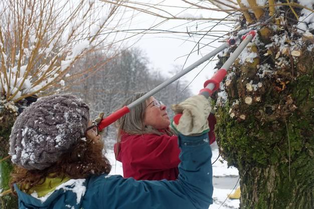 Mit Säge und Heckenschere werden die langen letztjährigen Ruten zurückgeschnitten