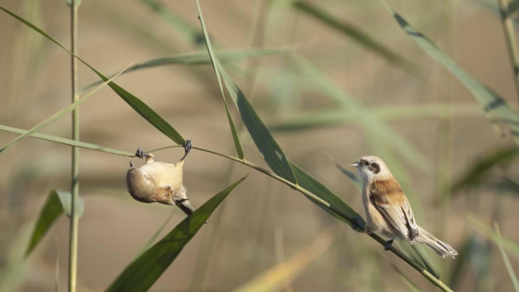 Die Beutelmeise gehörte zu den Raritäten der diesjährigen internationalen Zugvogeltage, an denen am Wochenende Millionen von Vögeln beobachtet wurden.