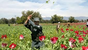 Afghanischer Polizist zerstört Mohnblumen (Archiv)
