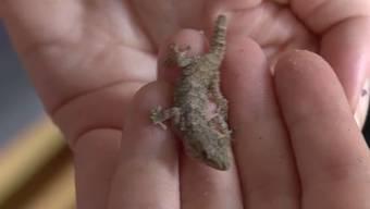 Eine 18-Jährige findet in einer Krautstiel-Verpackung der Migros Oftringen AG einen kleinen Gecko.