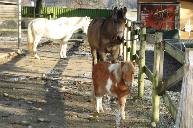 Remigen Zoo Hasel Ponys