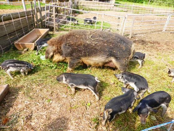 Wollschwein mit Jungmannschaft
