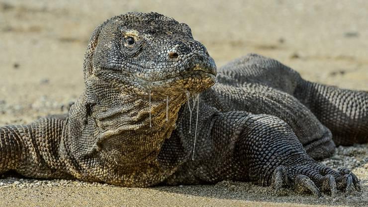 Versteckt lauern Komodo-Warane ihren Opfern auf und schlagen dann blitzschnell zu.