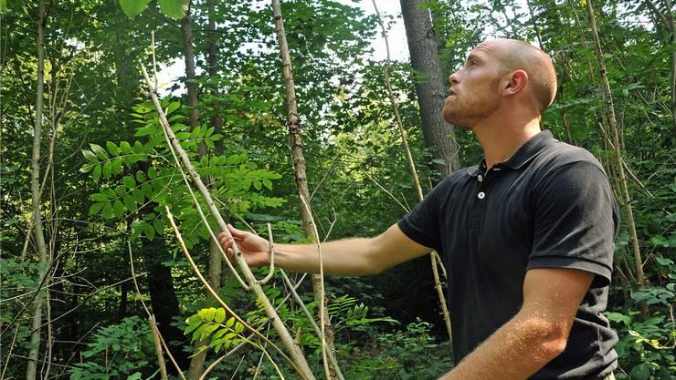 Fast nur noch dürre Äste und Nottriebe: Martin Blattner in einem Jungholzbestand im Buechwald.