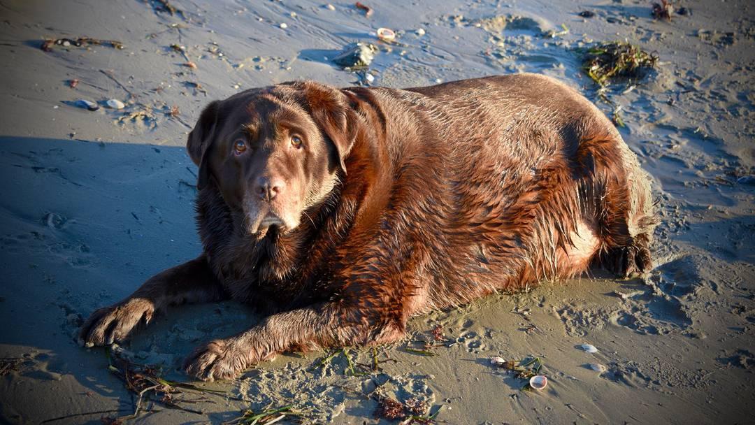 Kaum zu glauben, was in nur 10 Monaten aus diesem immensen Labrador geworden ist