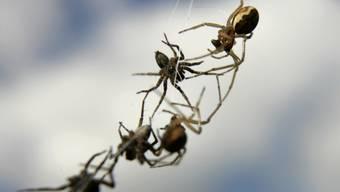 Erst knapp die Hälfte der Spinnenarten weltweit sei bisher entdeckt, vermuten Experten. Das soll sich mit einem Grossprojekt ändern. (Symbolbild)