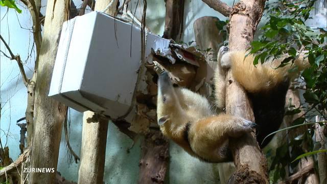 Kleiner Ameisenbär als Zoo-Star