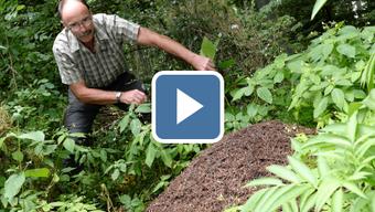 Hansueli Stohler hat sich freiwillig als einer von bisher 15 Ameisengöttis gemeldet. Seine Aufgabe ist es, in einem Waldgebiet von drei Gemeinden Ameisenhaufen zu entdecken, ihre Position zu notieren und die Bauten zu pflegen.