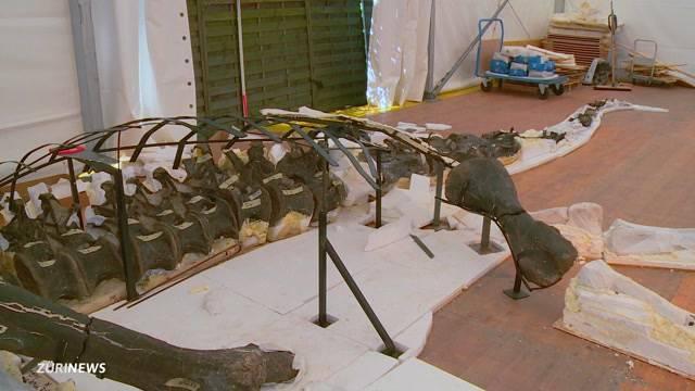 Dino-Skelett zu gross für Museum