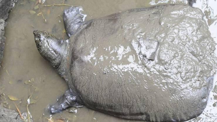 Das letzte bekannte Weibchen der Jangtse-Riesenweichschildkröte - hier bei einem Besamungsversuch 2015 - ist nach einem weiteren Befruchtungsversuch gestorben. Jetzt gibt es nur noch drei Exemplare dieser Gattung, eins davon ein Männchen in einem Zoo, die anderen beiden in freier Wildbahn, ihr Geschlecht ist nicht bekannt.