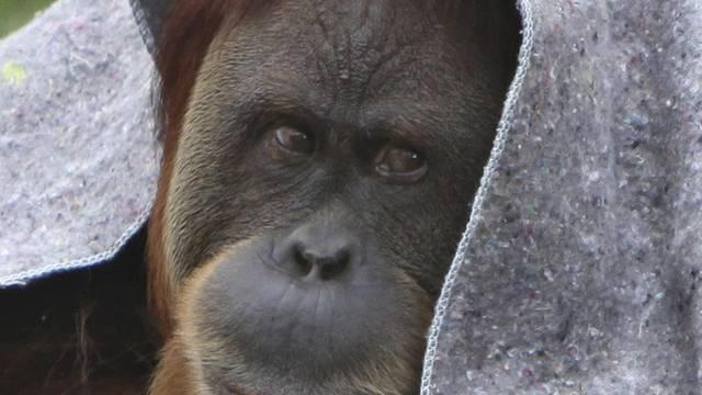 Eine Affenkälte (Archivbild)