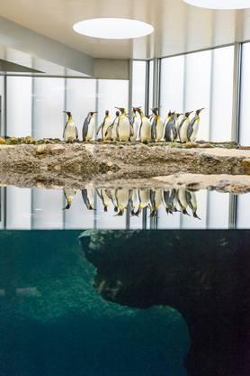 Dank einem neuen Unterwassereinblick auf Augenhöhe sieht man die Vögel in Zukunft elegant durchs Wasser «pfeilen».