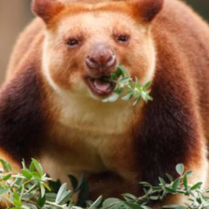 Hobby-Botaniker findet seltene Känguru-Art wieder
