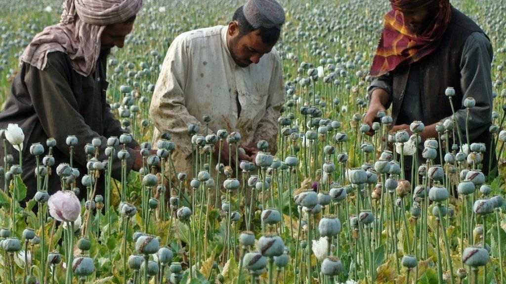 Opium-Ernte in der Provinz Helmand (Archiv)
