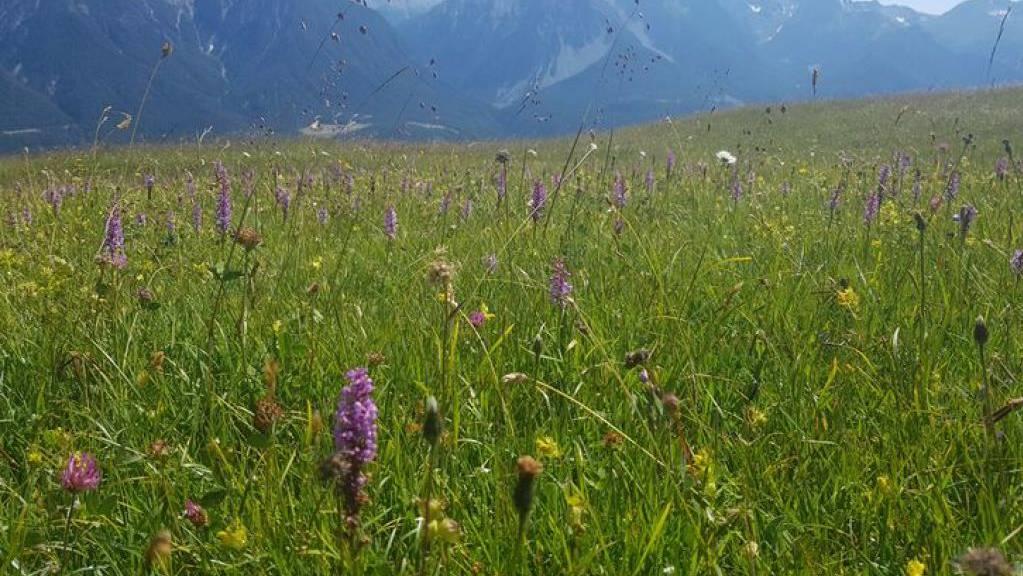 Artenreiche Wiese «Marièrs» bei Scuol GR auf 2100 Metern.