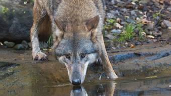 Wolf Geri erhält seine Futter-Jahresration neu von der Gemeinde Geroldswil gesponsert.