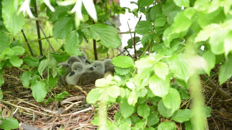 Während die Schwanenmutter schaut, ob die Luft rein ist, sind die sechs Kleinen sich selbt überlassen.
