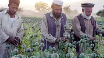 Afghanische Bauern in einem Mohnfeld (Archiv).