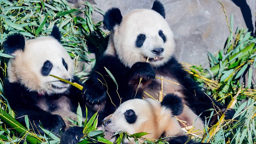 Die Panda-Zwillinge Pit (l) und Paule (unten) essen neben Mutter Meng Meng in ihrem Gehege im Berliner Zoo Bambus.