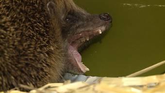 Die Sendung «tierisch» auf Tele M1 besuchte das Tierheim Paradiesli im Nidwaldner Ennetmoos und diedortigeIgel-Auffangstation.