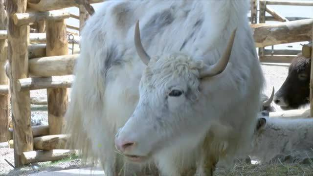 Die Mongolische Steppe liegt jetzt auch auf dem Züriberg. Yaks beziehen ihr neues Zuhause im  Zoo Zürich.
