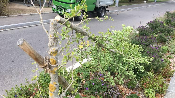 In Riehen wurden 18 Jungbäume angesägt.