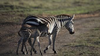 Zebras in der Maasai Mara in Kenia
