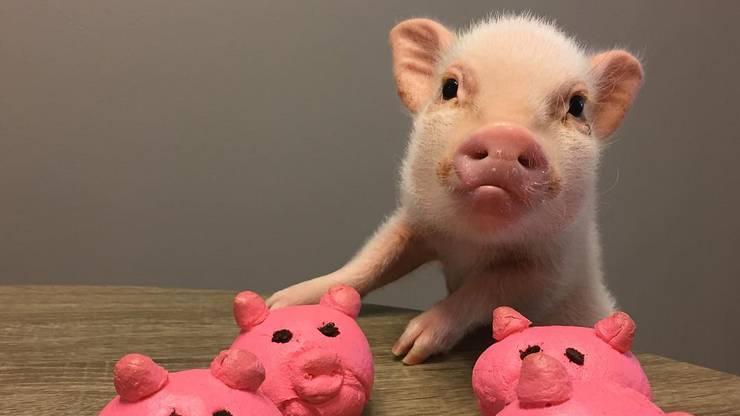 So gross wie die Schweine, die wir kennen, wird Hank nicht.