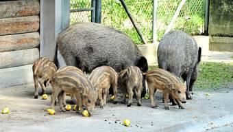 Bei den Wildschweinen im Tierpark Roggenhausen hat es im Juni dieses Jahres wieder Nachwuchs gegeben.