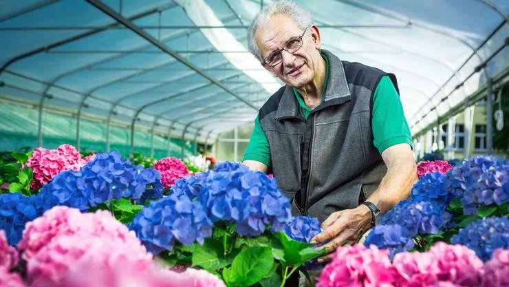 Peter Stadelmann hat zu Hortensien einen besonderen Bezug. An seiner ersten Stelle war er als junger Berufsmann für Hortensien-Kulturen zuständig. Chris Iseli