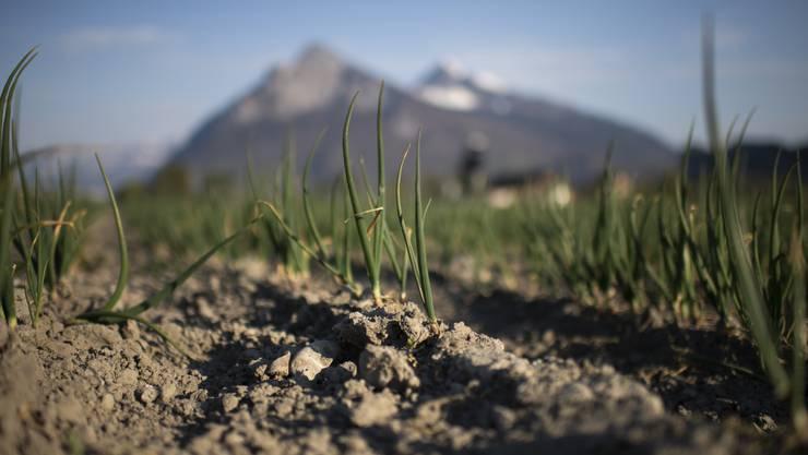 Ein trockenes Feld mit Winterzwiebeln in Bad Ragaz (SG). Seit Mitte März hat es in der Schweiz kaum Niederschläge gegeben. Mehrere Kantone haben bereits Feuerverbote erlassen und in der Landwirtschaft muss bewässert werden.