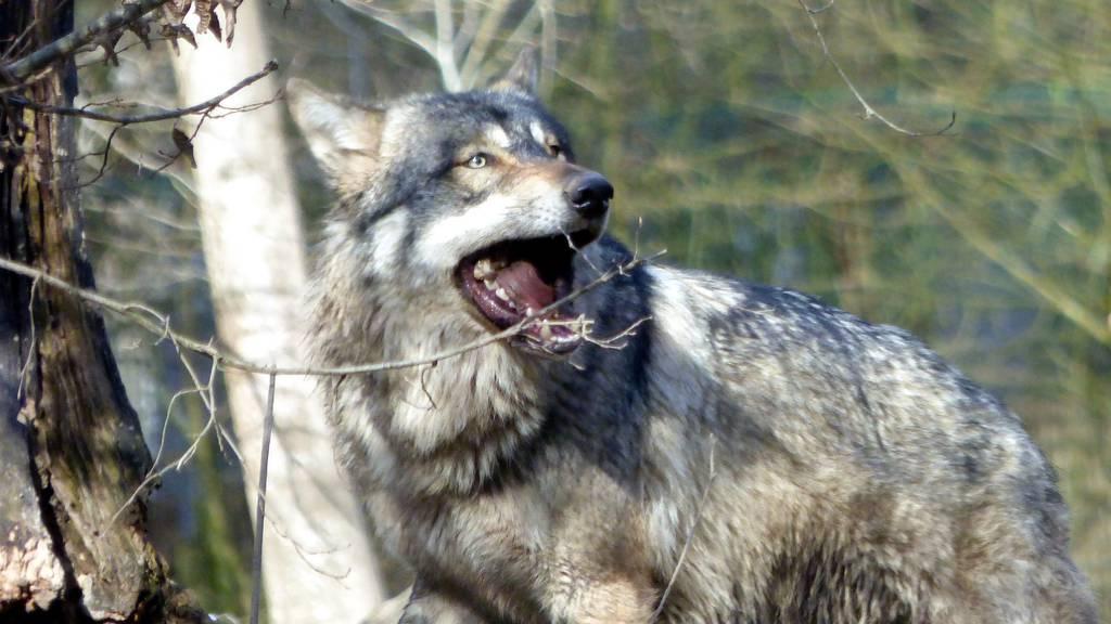 Im Kanton Schwyz war ein Wolf unterwegs