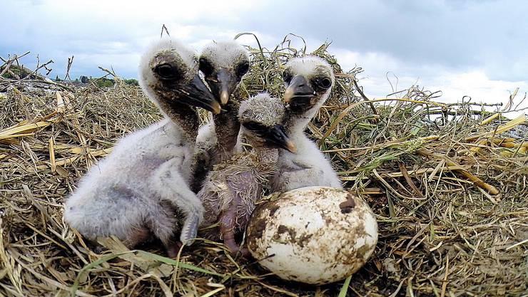 30. April: Aus fünf Eiern sind vier winzige Storchenküken geschlüpft. Drei von ihnen überlebten jedoch leider nicht lange.
