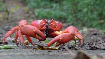 Jedes Jahr machen sich die Weihnachtsinsel-Krabben auf den Weg Richtung Strand.