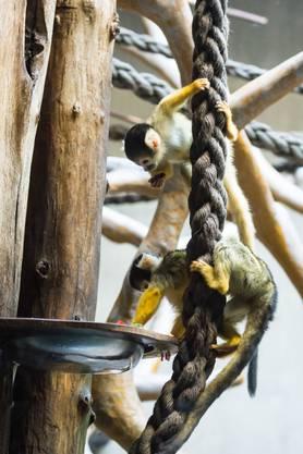 Sie stammen aus dem Tiergarten Nürnberg und leben jetzt im Gehege neben der Basler Totenkopfäffchen-Gruppe im Affenhaus.