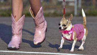 Der Chihuahua hat als Schosshund der Stars eine Art Kultstatus erreicht und mittlerweile den Labrador als beliebteste Rasse abgelöst.