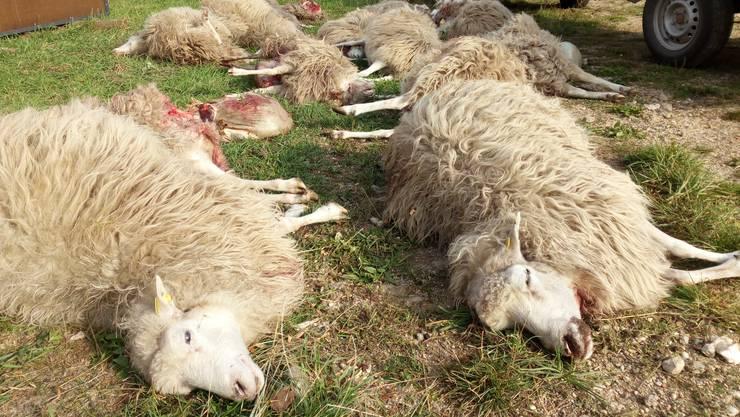 Sechs Schafe wurden von einem Hund gerissen (Symbolbild).
