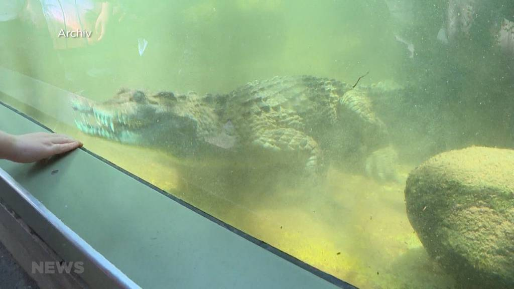 Krokodil beisst im Zoo Zürich Pflegerin