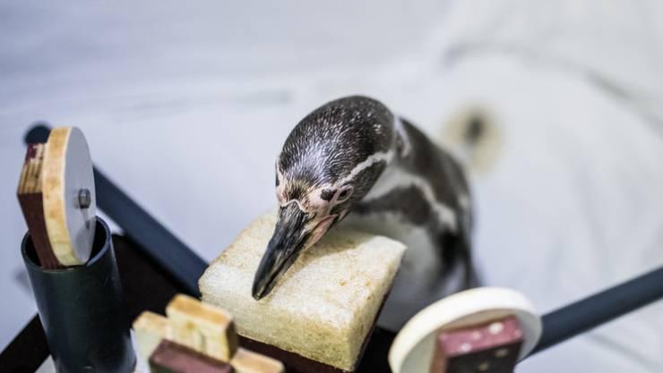 """Ein Humboldt-Pinguin im Ozeanum Stralsund wartet konzentriert auf einen Ton, den er dann mit Antippen einer Scheibe quittiert. Für das Projekt """"Hearing in Penguins"""" betätigen sich vier Pinguine als eifrige Forschungsassistenten. (zVg)"""