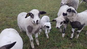 Das gestohlene Lamm gehört zu der seltenen Rasse der Spiegelschafe – es weist einen Wert von mehreren hundert Franken auf.